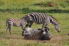 zebras-in-kidepo.jpg