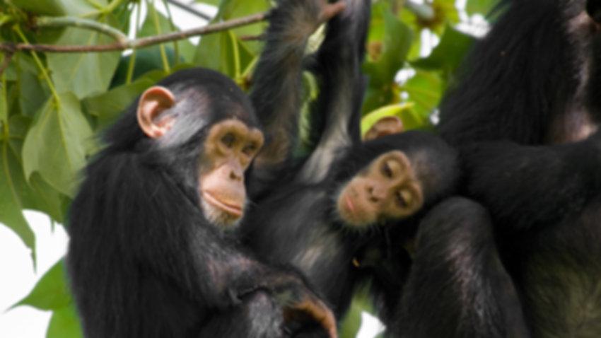 animals_hero_chimpanzee.jpg