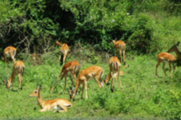 antelopes-uganda-national-parks-lake-mbu