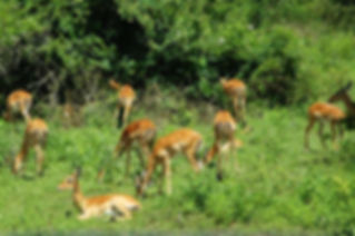 antelopes-uganda-national-parks-lake-mbu