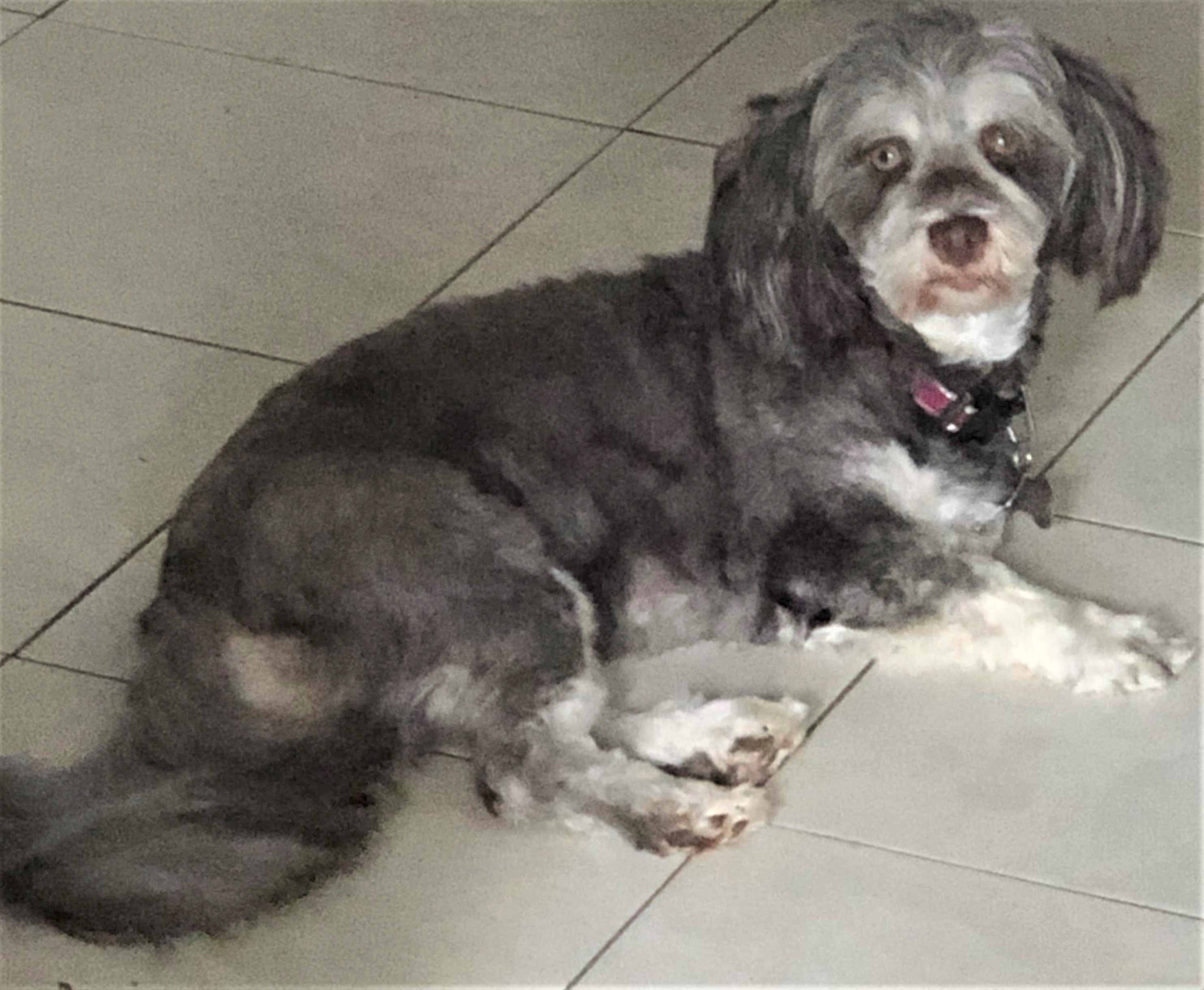 Silky Ness Havanese Breeder In Houston Texas Area