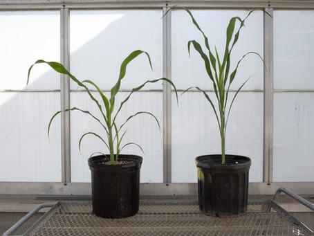 ARPA-E showcases advances in bioenergy production, drought tolerance