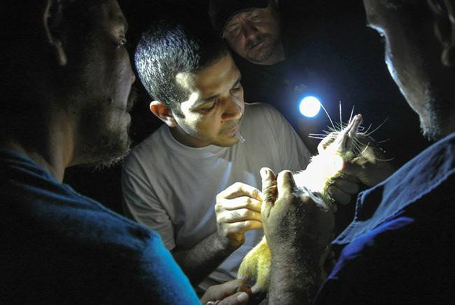 Scientists inspect a solenodon by the light of a flashlight.
