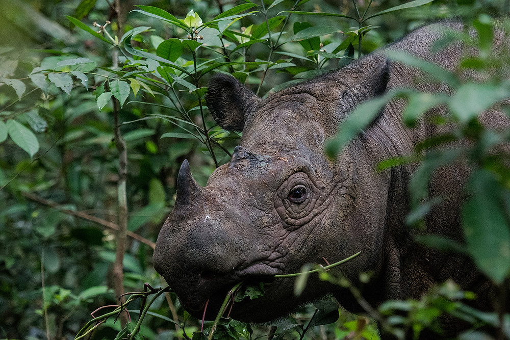 Portraite of a Sumatran rhino.