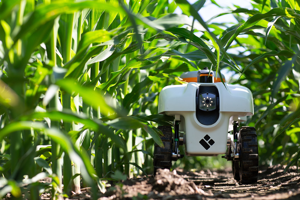 White, rounded TerraSentia robot drives down between two rows of short corn plants..