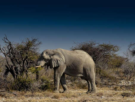 Desert elephants pass on knowledge—not mutations—to survive