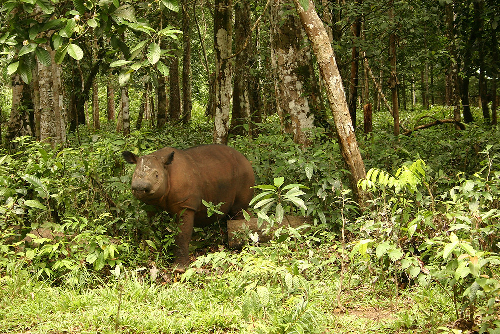 Sumatran rhino at the edge of a forest.