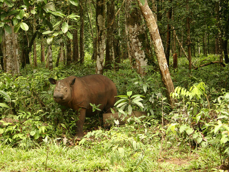 Humans are Sumatran rhinoceros' biggest threat—and last hope