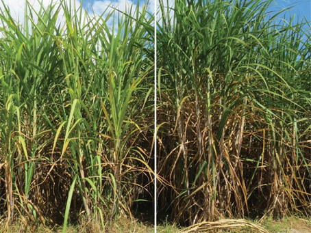 """Grant helps project realize """"ultra-productive"""" biofuel crops, attract investors"""