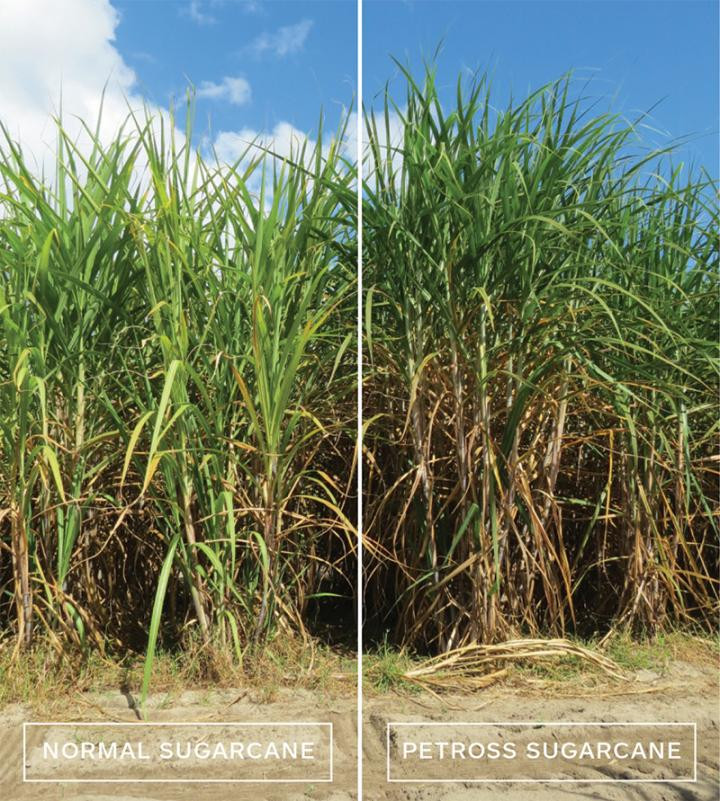 Pictures of engineered and non-engineered sugarcane side by side.