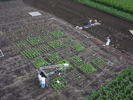 Light signal emitted during photosynthesis used to quickly screen crops