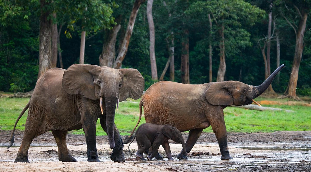 Three forest elephants walk in mud alongside the edge of a forest.
