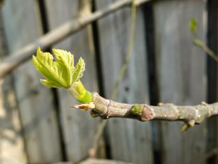 Les macérâts concentrés de bourgeons : Une alternative naturelle douce mais profonde et régénérante