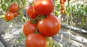 Россельхознадзор уничтожил 4 тонны украинских помидоров