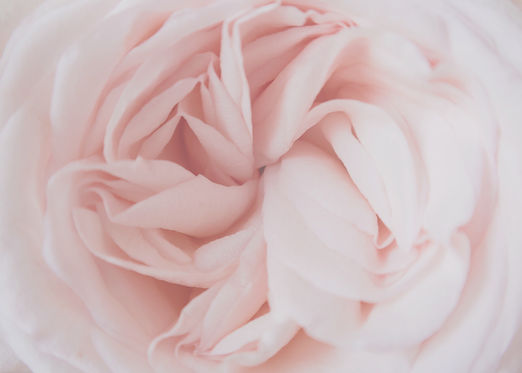 Luscious closeup of autumnal pink roses in New Zealand. Flowers create scent and sooth the...ted.jpg