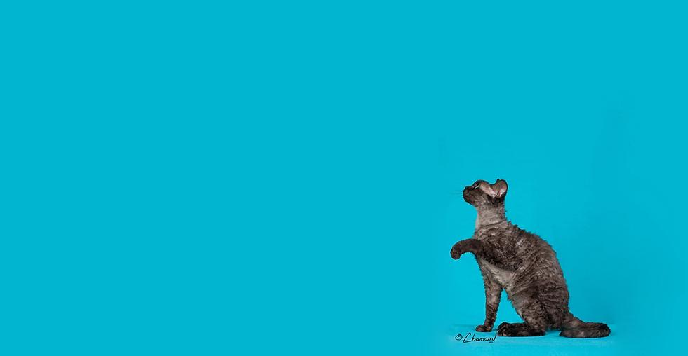 PureX Devon Rex Kittens Canada