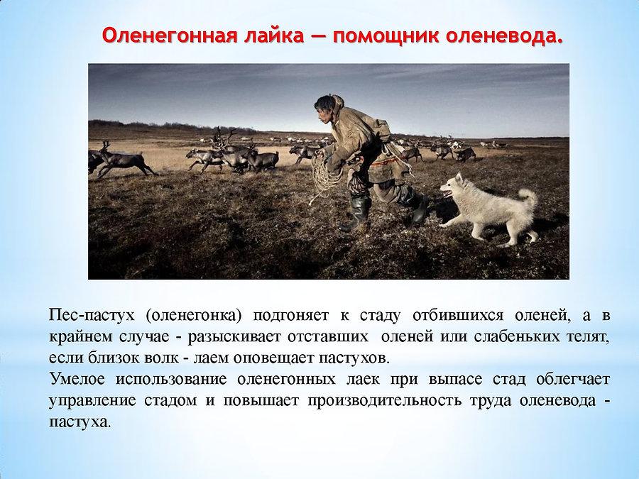 2. ЕСТЬ ТАКАЯ ПРОФЕССИЯ  -  ОЛЕНЕВОД-014
