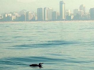 Remando com pinguins na orla do Rio