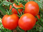 Tomato Genome Wide Markers | Straits Biotech