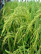 Rice Genome Wide Markers | Straits Biotech