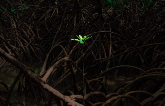 young-mangrove.jpg