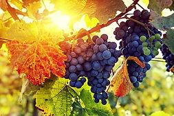 vigne Champagne Allouchery-deguerne
