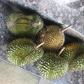 Reclaiming Musang King, Malaysia's durian royalty