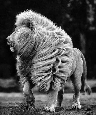 __lion.jpeg