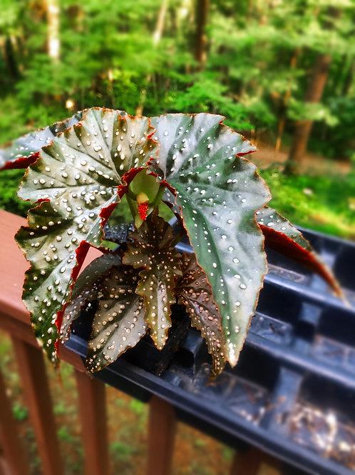 Angel Wing Begonia 'Fannie Moser'