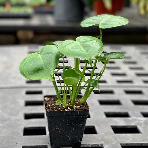 Monstera Deliciosa Live plant