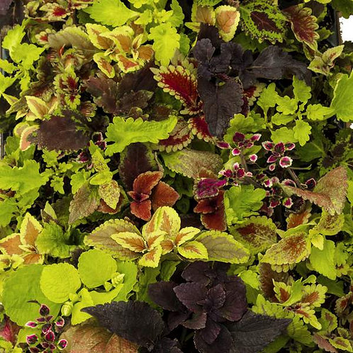 Coleus All Mixed Up