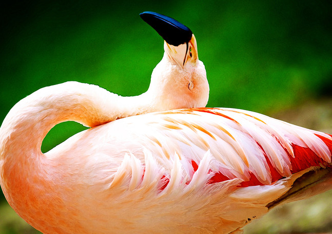Flamingo | Photography