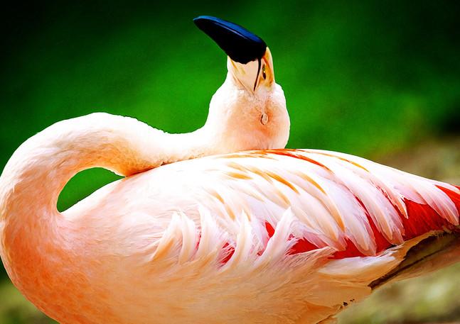 Flamingo | Photography