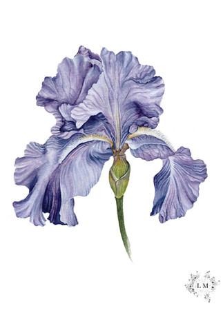 Full Bloom | Watercolor