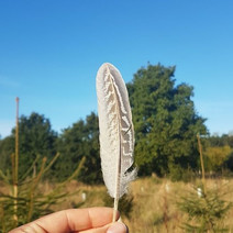 A pheasant feather