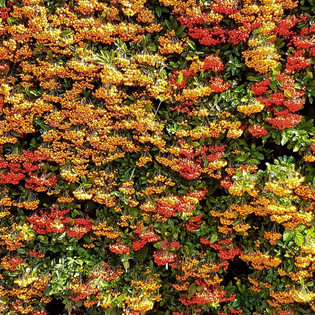 A beautifully autumnal toned bush covered in berries.