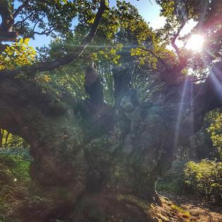 Famous 'Old Knobbly'...a huge Oak tree in Mistley