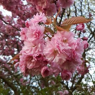 Bright pink blossom