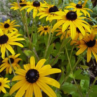 A bloom of 'Black Eye Susan' flowers'