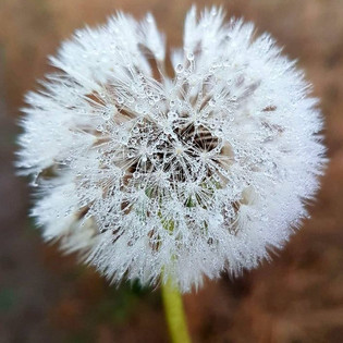 A dew covered dandelion