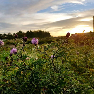 Thistles blooming in the light of the sun.