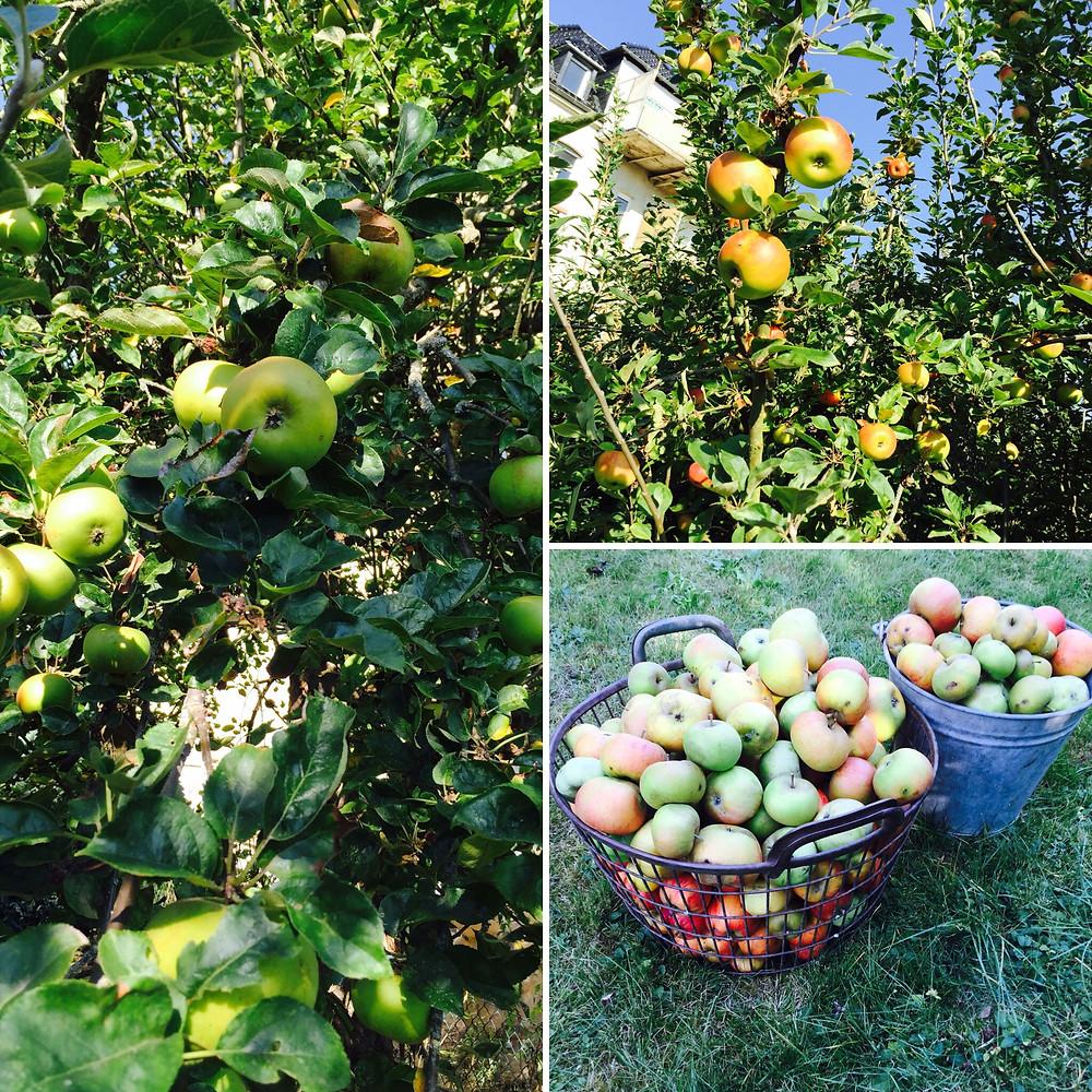 Aus drei Sorten Äpfel von alten Apfelbäumen wird gepresst
