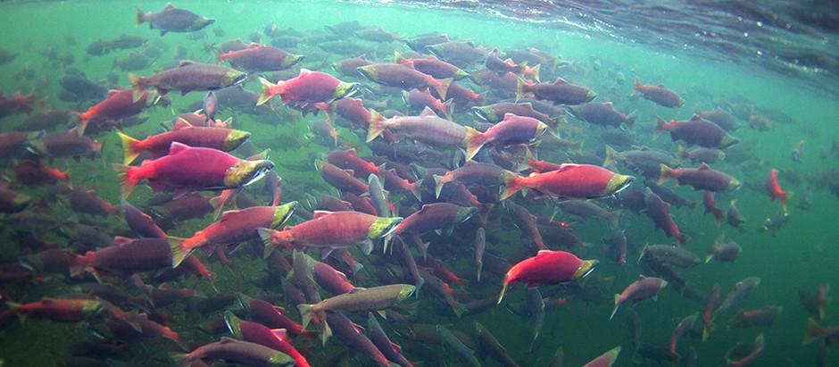 Save Bristol Bay in Alaska ❌🐻