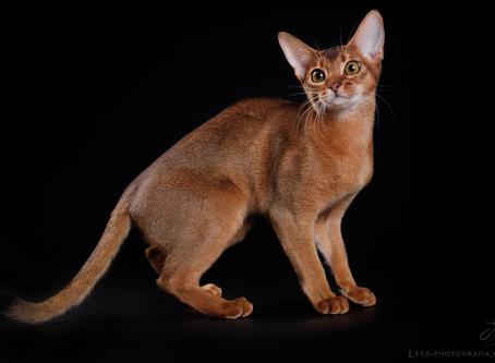 Основные окрасы абиссинской кошки