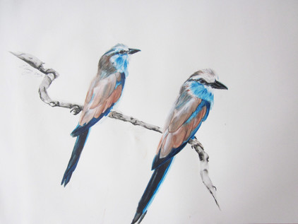 Bird Series: Blue Bellied Rollers
