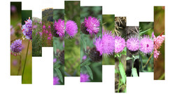 Purple Scotland