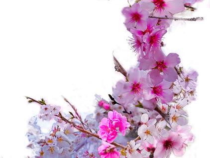 Blossoms That Shape Japan