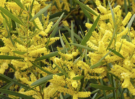 The wattle and the whales