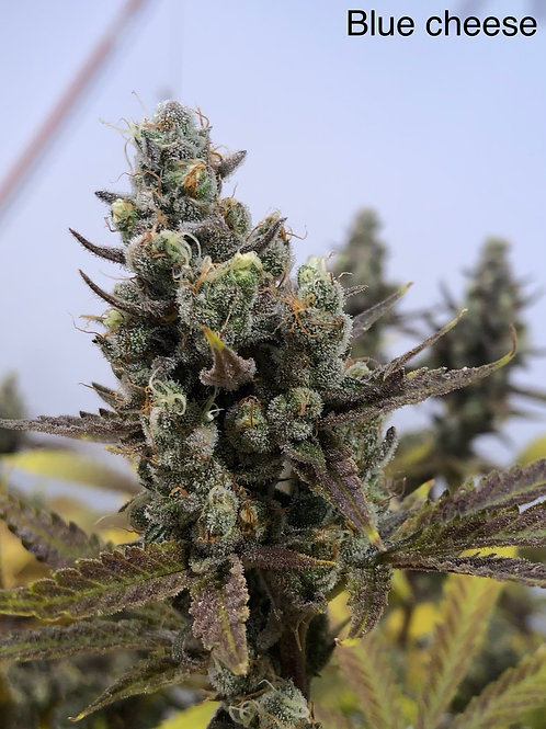 Blue Cheese (Indica)