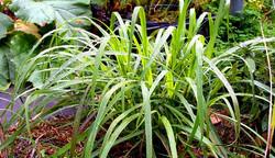 lemongrass-graibeard-Flickr-600x347